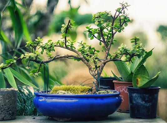 Uprawa drzewek bonsai